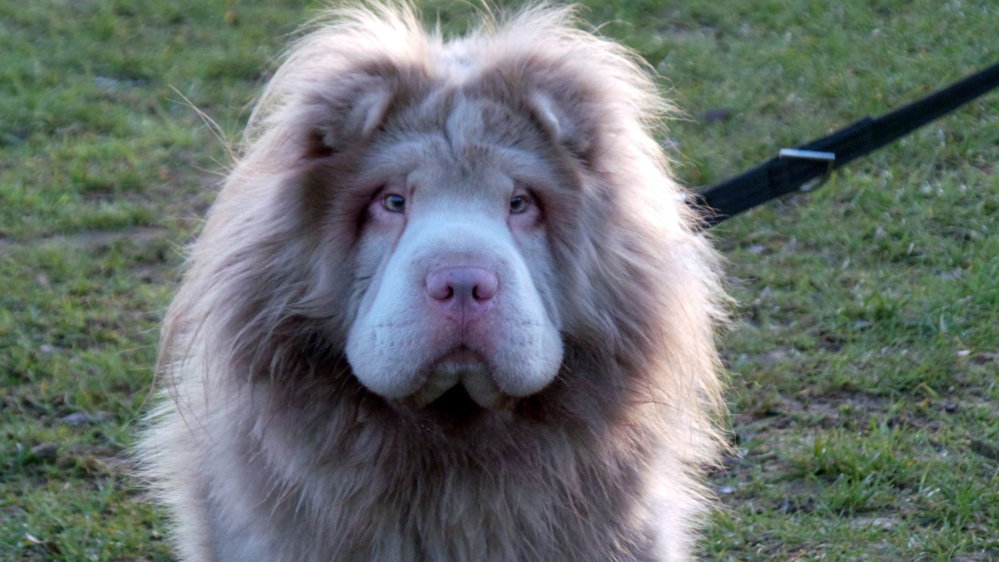 dog that looks like a lion - HD 2048×1152