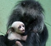 The king colobus monkey with its mother