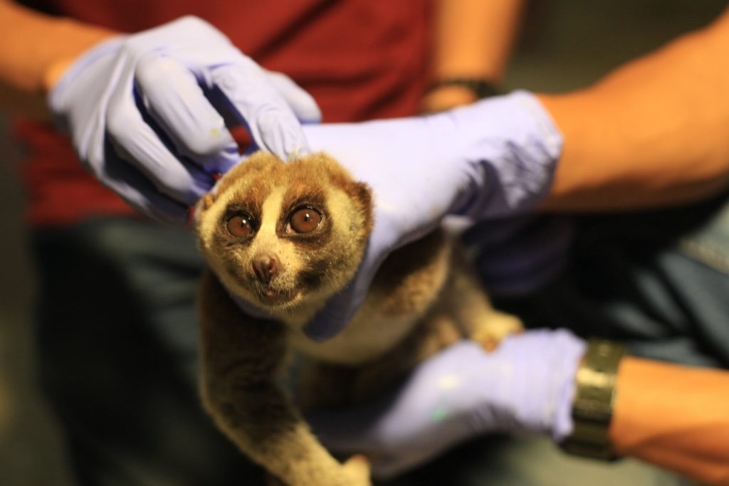 This is the moment nine terrified slow lorises were rescued.
