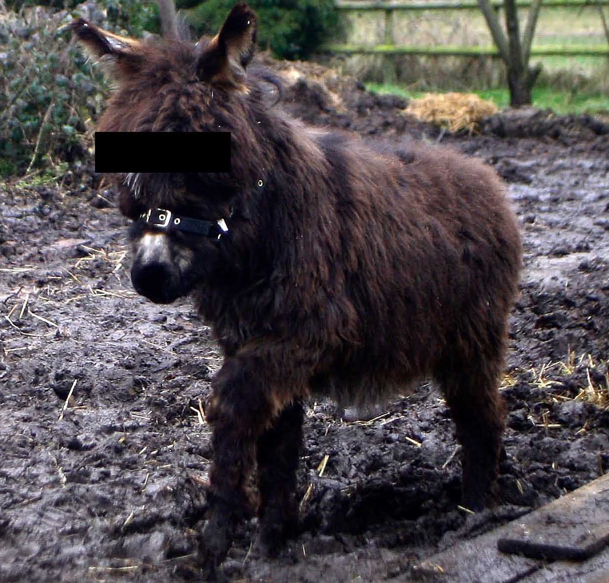 A miniature donkey similar to the one Carlos Romero was allegedly caught having sex with