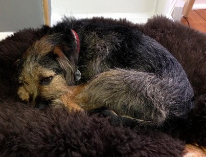 Jimmy the missing border terrier, who was reunited with his owner after they thought he was dead