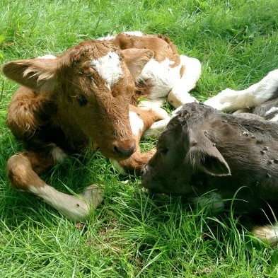 Tresemple Cherry Blossom's two, different coloured, calves which have stunned experts
