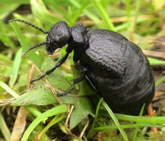 The Mediterranean oil beetle which has been spotted in the UK for the first time in over 100 years
