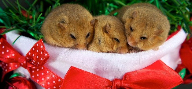 The three dormice that were rescued from a hedge after their mother died