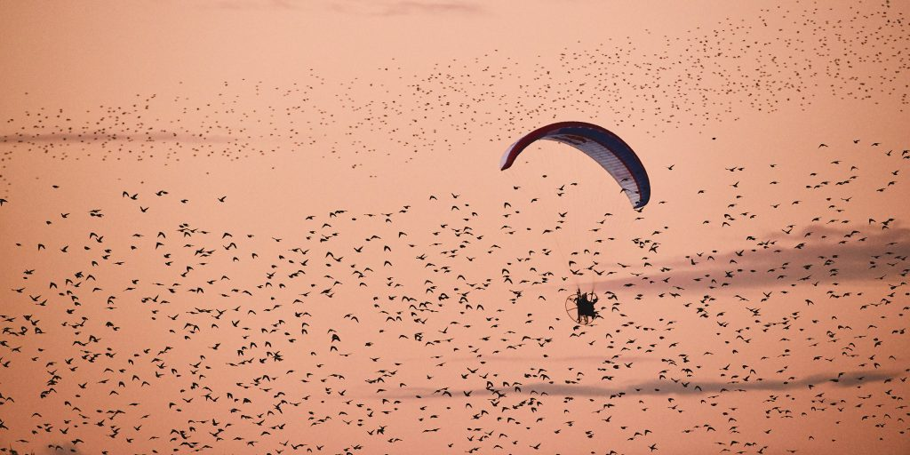 Horacio Llorens flies his electric powered paraglider with a large group of starlings during Sort Sol (Black Sun) in southwest Denmark.