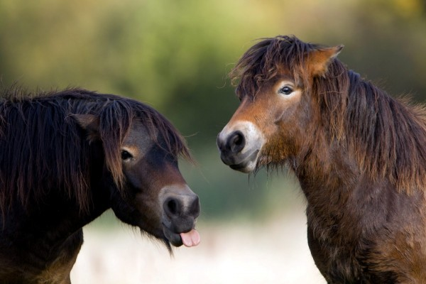 Exmoor ponies such as these are under threat due to rampant cross-breeding