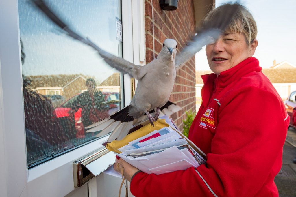 Collared Dove called Ringo among other names with postwoman Alison Preston age 51.