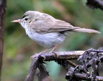The tiny Sykes' Warbler normally found in Afghanistan and Sri Lanka which was photographed on the island of Tresco by spotter Dick Filby