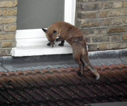 The cheeky fox tries to climb through an upstairs bathroom window