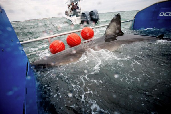 Scientists from OCEARCH ocean research tag a great white shark which they named Lydia