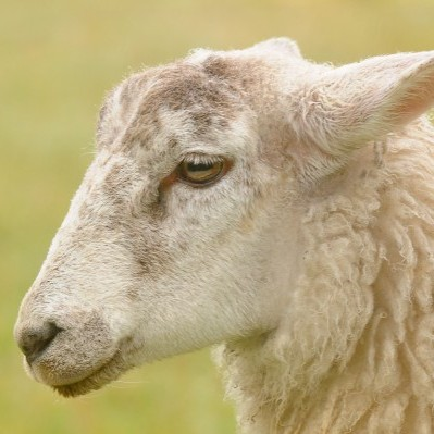 George the lamb who has lost its bleat after having its tongue pecked out by ravens