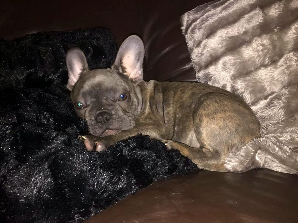 French bulldog puppy Rocco which was stolen on Saturday night while he and his children slept.