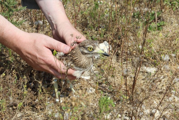 A wildlife expert releases a stone curlew to the wild - after it was found in a supermarket in Devizes, Wiltshire