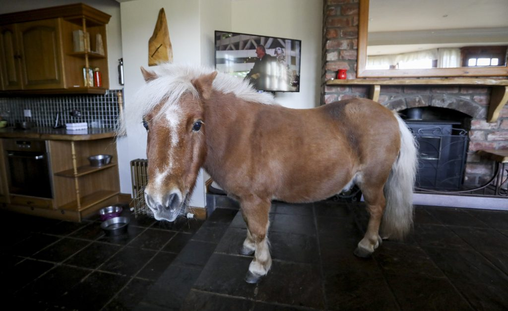 Wee Bob the seventeen-year-old Shetland Pony who lets himself in to the family home where he spends time watching tele and playing with the dogs. See Centre Press story CPPONY; A 32-inch tall Shetland pony which thinks it's a dog has taught itself to open the door to its owners' home where it raids cupboards and watches EMMERDALE. Wee Bob the Shetland pony, 17, taught himself how to jiggle the latch on the door with his chin to let himself in. His owner Stacey Johnstone, 26, says he's been using the skill to let himself in to sit in front of the fire during cold winter days ever since. Although having a pony in the house was a strange sight at first, the neighbours have soon grown used to it and now even the postman brings him apples while doing his rounds. Wee Bob used to rummage through the cupboards but the family of six have since had to move the fruit bowl and food into higher cupboards.