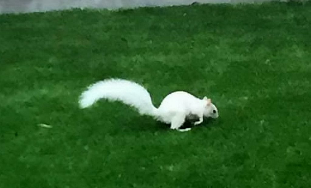 This is the moment a rare white squirrel is caught on camera.