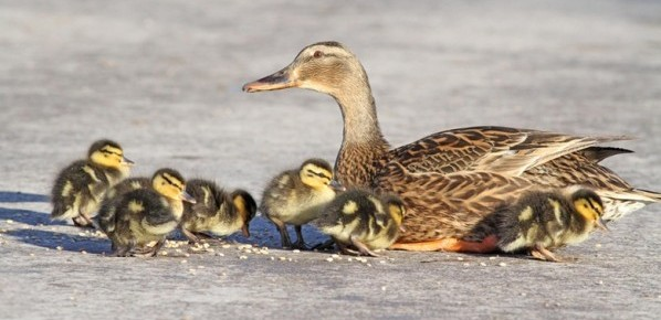 The mallard duck tends to its brood of seven ducklings born out of season in the middle of a cold snap