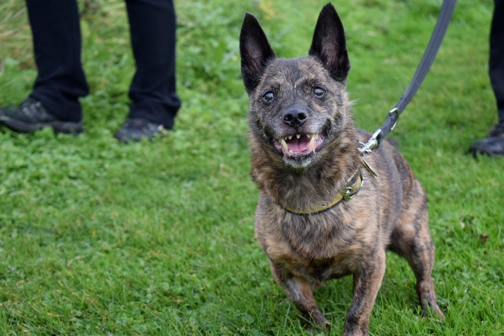 """Terrier cross Marley a scary-looking dog with teeth resembling """"a vampire bat's fangs"""" has found a forever home -- just in time for Halloween."""