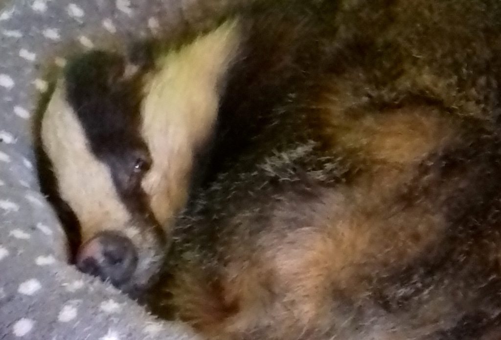 This is the adorable moment a badger was found curled up having a nap in the cat basket of a home in Beecraigs Country Park in West Lothian.