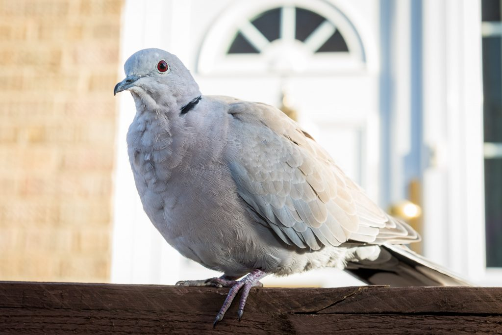 Collared Dove called Ringo who is feared to be stolen.