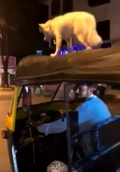 Sultal the dog on top of a rickshaw in Mumbai city, India.