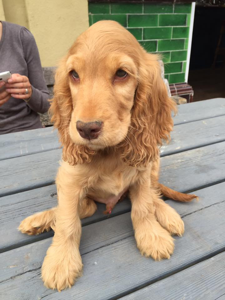 Rudi, a show-type Spaniel has been named Britain's cutest pub dog who lives at at the Mitre pub in Richmond-upon-Thames, south west London.