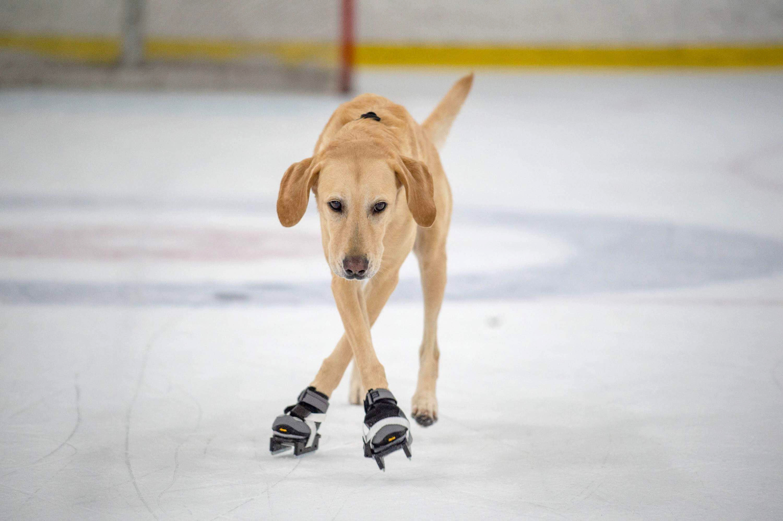 Картинки собаки на коньках