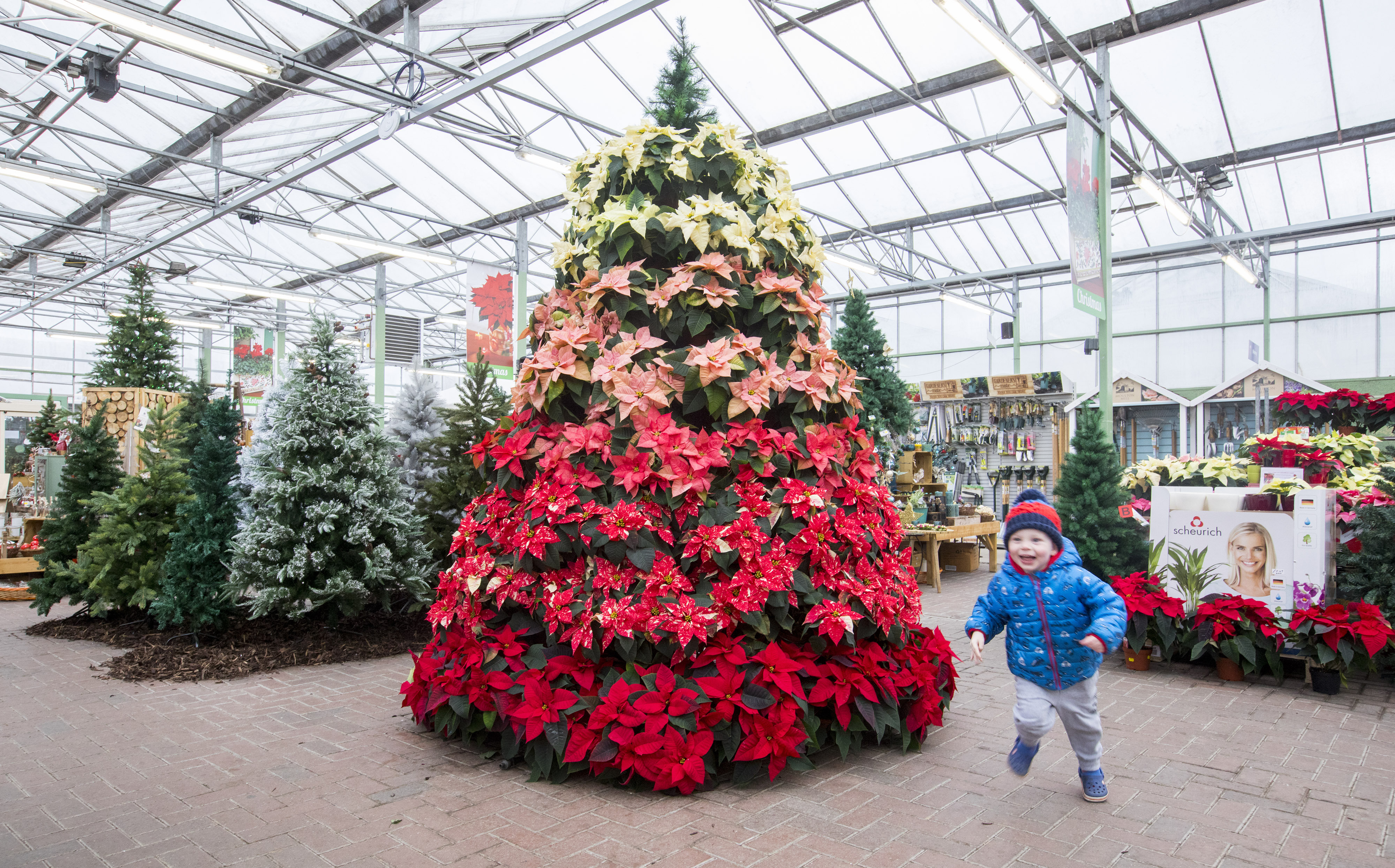 two year eleven month old joshua evans admires the colourful poinsettia christmas tree at pentland plants midlothian