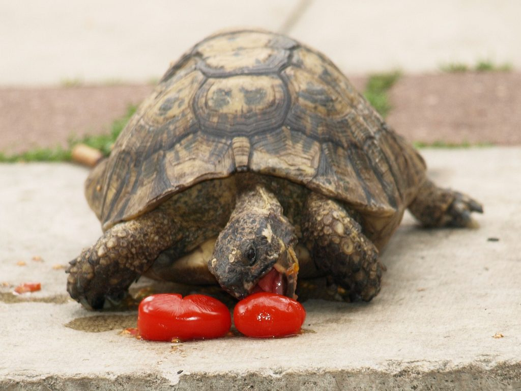 Dino the tortoise, 60 who was stolen from his home in Cheshunt, Herts.