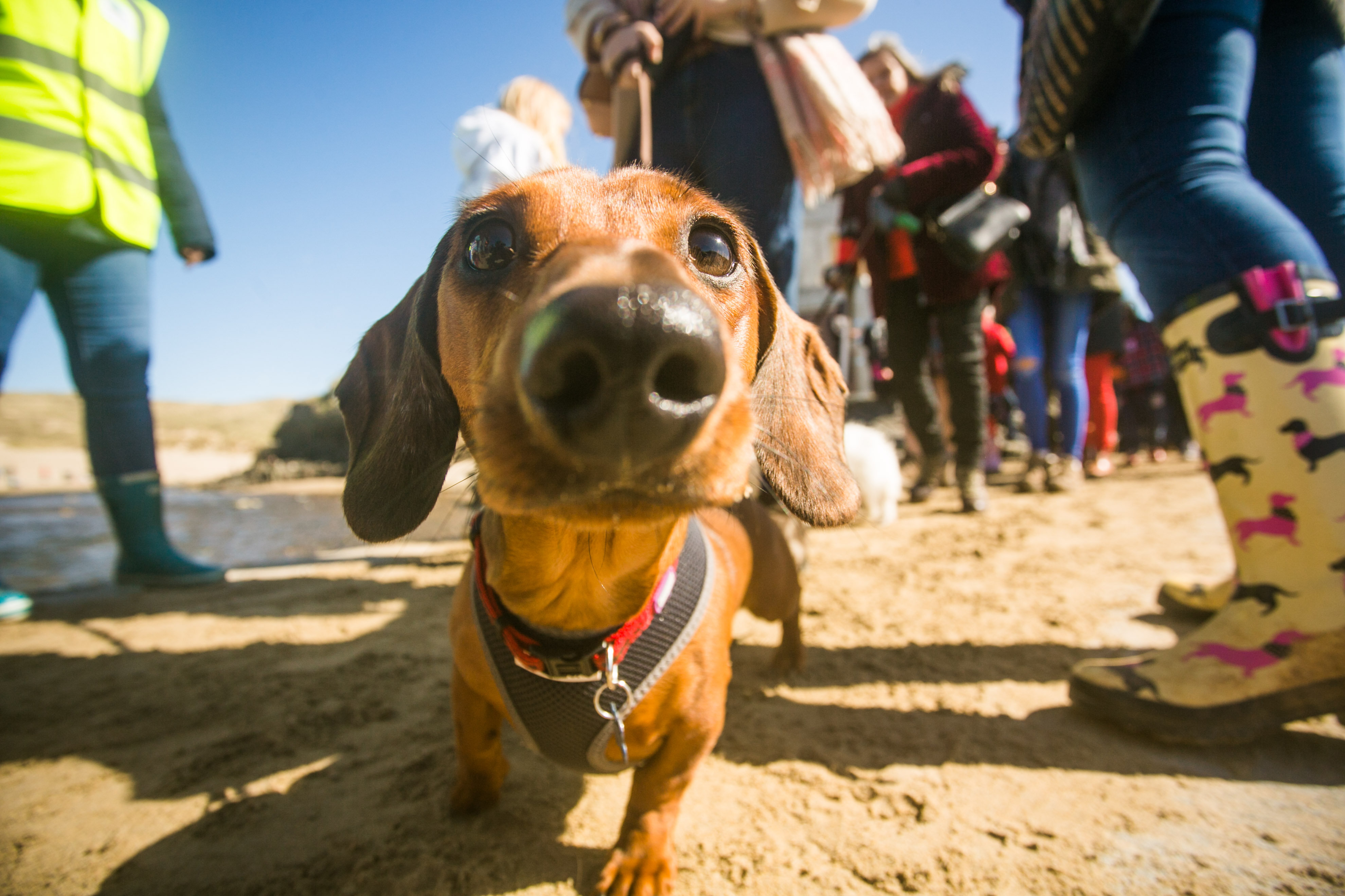 Image of: Death Dog Newscomau World Record Broken As Over 600 Sausage Dogs Gather On Beach Swns